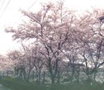 桜がマンション周囲に植えてあり、春には満開に
