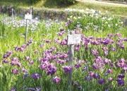 馬見丘陵公園(奈良公園に次ぐ県営公園しょうぶ園)