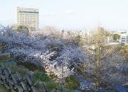 浜松城公園の桜並木