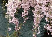 春になると桜並木が美しい二ヶ領用水