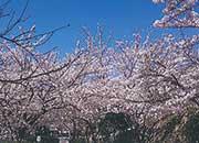 逆瀬台4丁目公園の桜並木