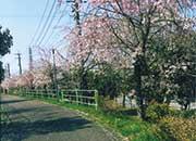 桜並木の続く遊歩道