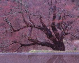 駒つなぎの桜。この1枚の写真から15年の歴史が始まった