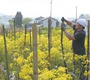 地元農家らの協力も得て、地域をあげた産業に。パステルが倒れないよう、支柱作り