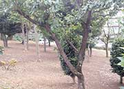 マンション敷地内の植木