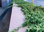 国道側の植栽。ウィルトニー(アメリカハイビャクシン)