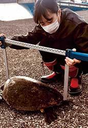 漁港でのウミガメの体長測定の様子。漁業者の協力によりウミガメの調査が行える